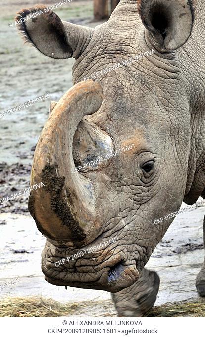 This December 9, 2009, file photo, shows Sudan, the world's last male Northern White Rhino (Ceratotherium simum cottoni), at zoo in Dvur Kralove nad Labem