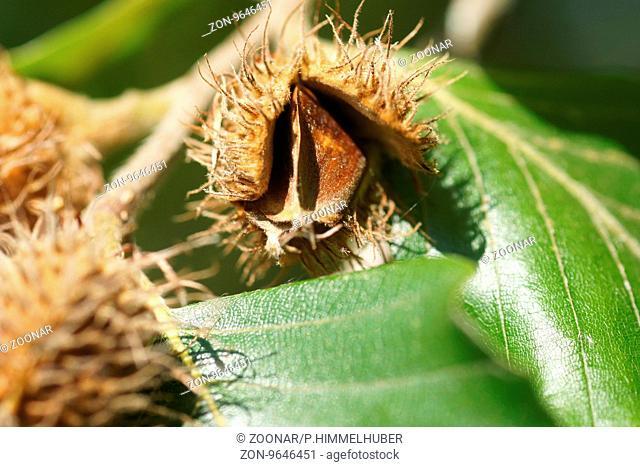 Fagus sylvatica, Buche, Beech, Bucheckern, beech nuts
