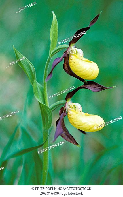 Yellow Lady's Slipper (Cypripedium calceolus). Germany
