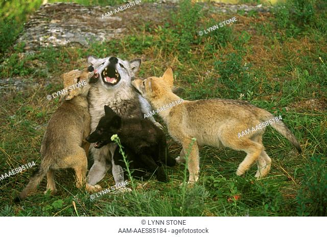 Gray Wolf, adult with three pups, different colors