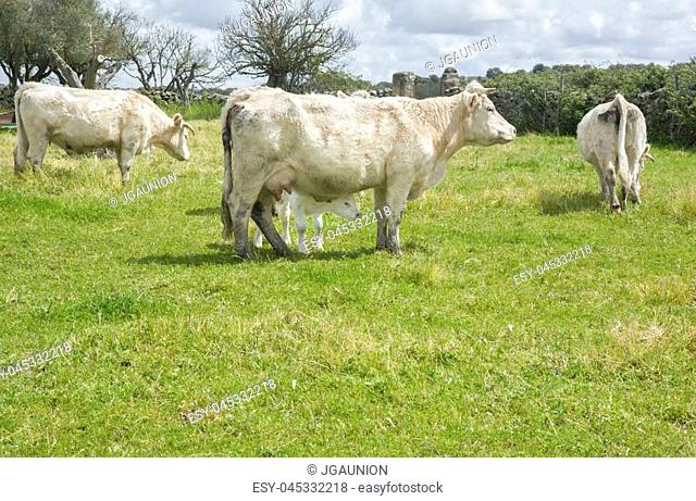 Charolais cattle grazing at Salor countryside, Caceres, Spain. Charolais is a beef originated in Charolais, around Charolles, in France