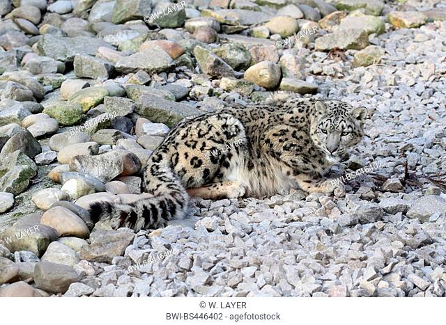 snow leopard (Uncia uncia, Panthera uncia), lying on stones, Asia