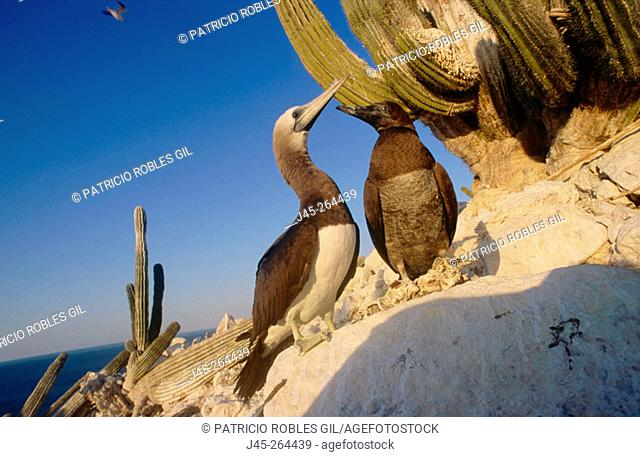 Brown Booby with young (Sula leucogaster) San Pedro Martir Island. Gulf of California
