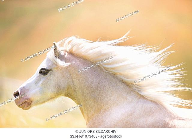 Welsh Mountain Pony. Portrait of palomino with mane flowing. Germany