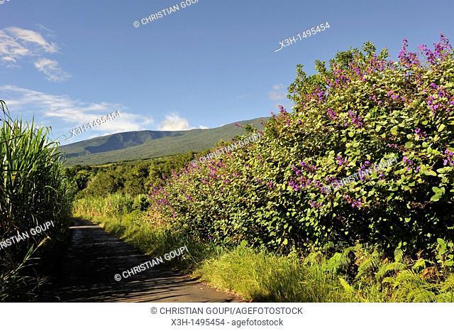 Tibouchina Grandifolia hedges among sugar cane fields around Sainte-Anne Reunion island, overseas departement of France, Indian Ocean