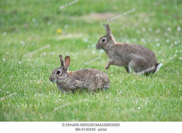 European Rabbits (Oryctolagus cuniculus), Emsland, Lower Saxony, Germany