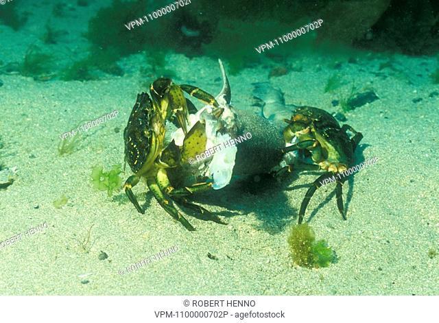 CARCINUS MAENASCOMMON SHORE CRAB - EUROPEAN GREEN CRABTWO EATING DEAD FISHMULL - SCOTLAND