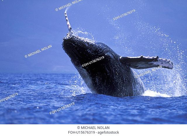 Humpback Whale Megaptera novaeangliae Calf breaching/head-lunging in AuAu Channel near Maui, Hawaii, USA. Pacific Ocean