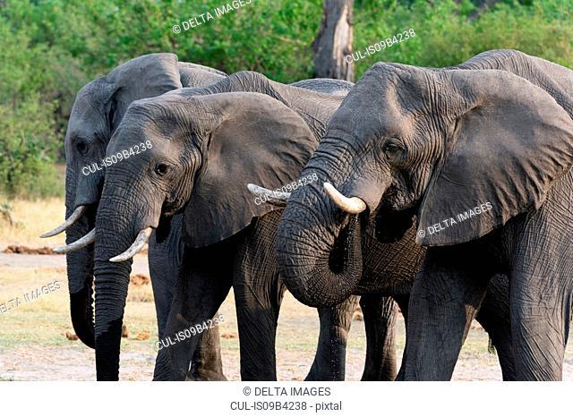 Three elephants (Loxodonta africana), Khwai concession, Okavango delta, Botswana
