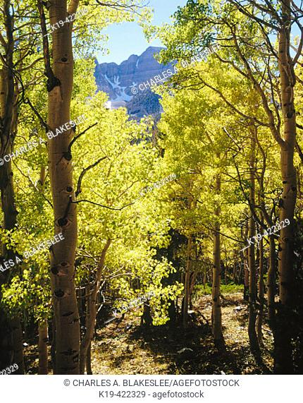 Aspen trees (Populus tremuloides) below Wheeler Peak in autumn, Great Basin National Park. White Pine County, Nevada. USA