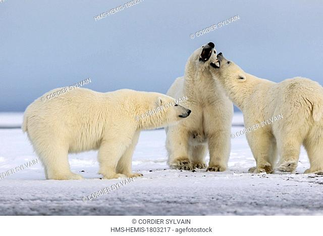 United States, Alaska, Arctic National Wildlife Refuge, Kaktovik, Polar Bear( Ursus maritimus ), female adult with 2 cubs along a barrier island outside...