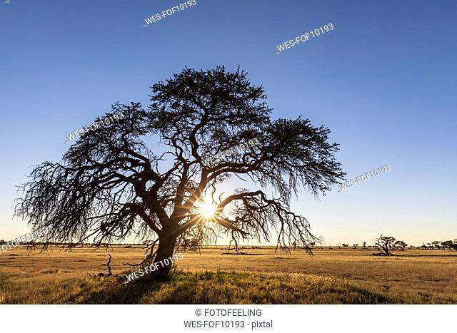 Botswana, Kgalagadi Transfrontier Park, Kalahari, camelthorn at sunrise