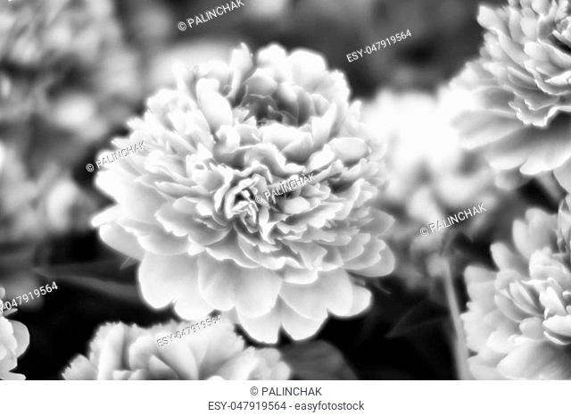 Soft focus black and white image of peonies in the garden. Blooming white peonies. Selective focus. Shallow depth of field