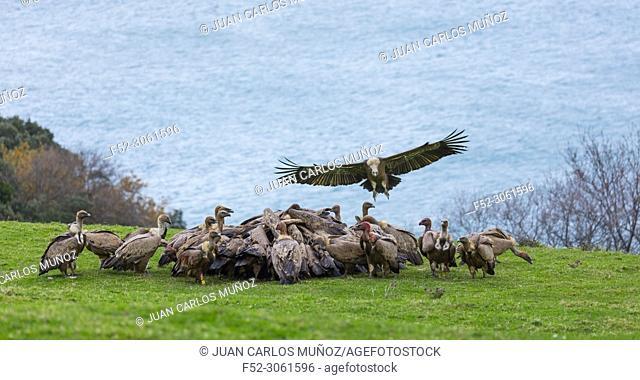 GRIFFON VULTURE (Gyps fulvus), Sonabia, MONTAÑA ORIENTAL COSTERA, Cantabrian Sea, Castro Urdiales Municipality, Cantabria, Spain, Europe