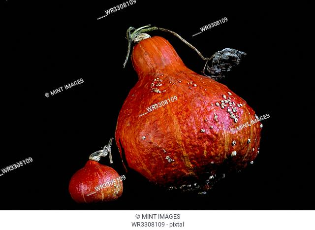 Close up of one small and one large Red Kuri pumpkin on black background