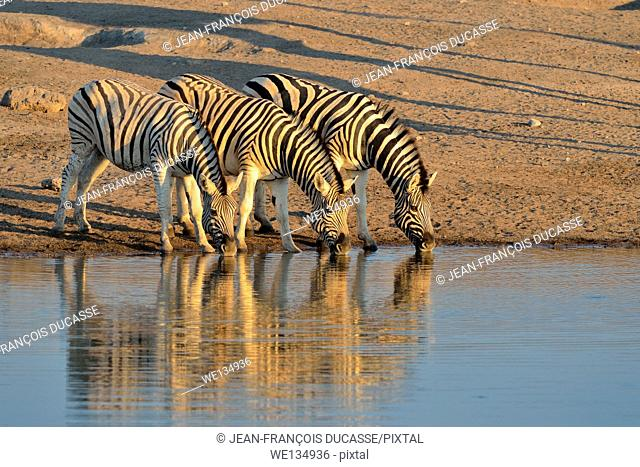 Burchell's zebras (Equus burchelli), drinking at a waterhole, at sunset, Etosha National Park, Namibia, Africa