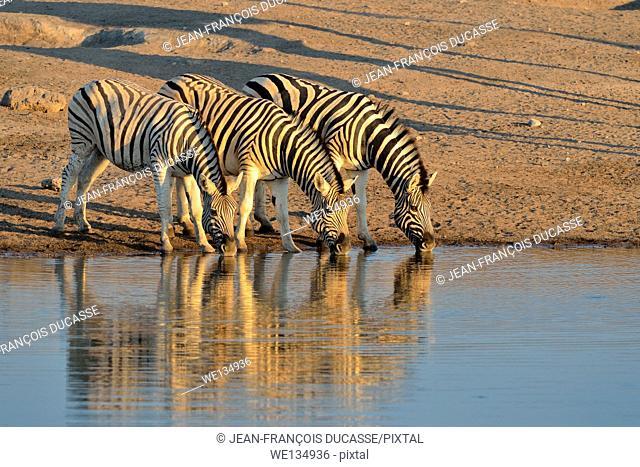 Burchell's zebras (Equus burchelli), drinking at a waterhole, at sunset, Etosha National Park, Namibia, Africa
