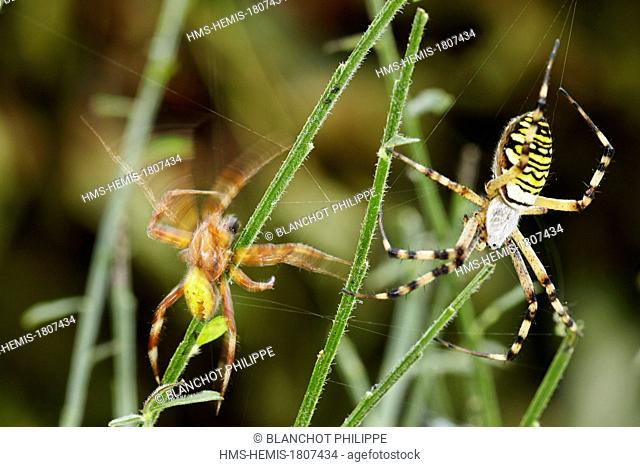 France, Morbihan, Araneae, Araneidae, Four spot orb weaver (Araneus quadratus)unwisely male approaching a Wasp spider female (Argiope bruennichi)