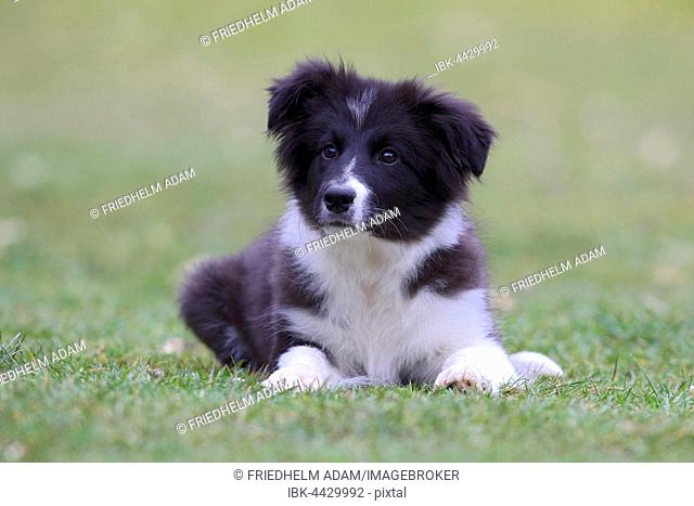 Border Collie (Canis lupus familiaris), puppy lying in meadow, Nordrhein Westfalen, Germany