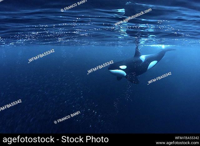 Killer Whale huntig Herring, Orcinus orca, Andfjorden, Andoya Island, Norway
