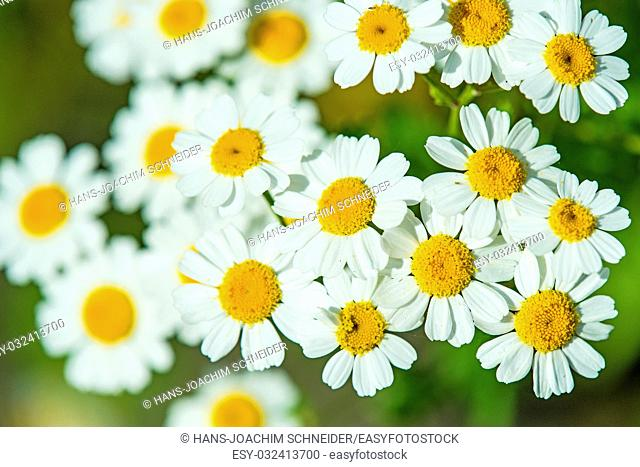 feverfew, medicinal plant with flower