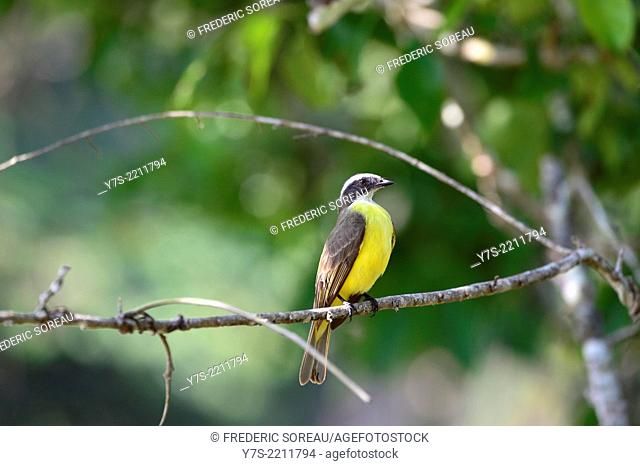 Black and yellow Bird perching on branch in Guatemala, Central America
