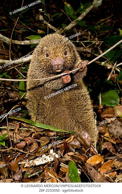 Very rare bristle-spined porcupine holding a thin branch