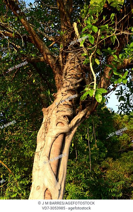West Indian laurel fig (Ficus americana) is a tree native to tropical America. This photo was taken in Manaus, Brazil