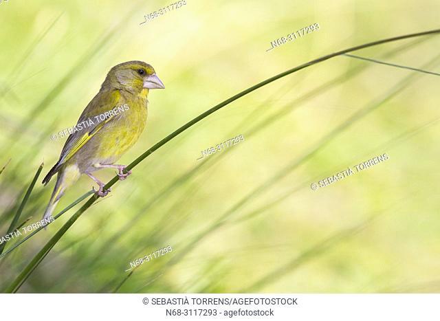 European greenfinch (Carduelis chloris) on a branch, Escorca, Majorca, Balearic Islands, Spain .