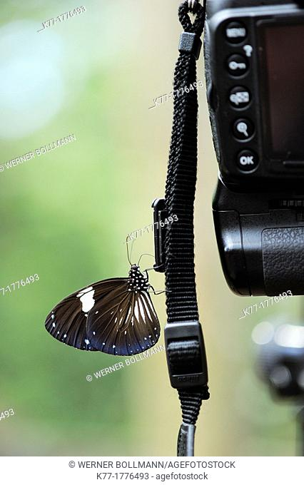 Tropical Butterfly sipping salt from camera strip, Tanjung Puting National Park, Province Kalimantan, Borneo, Indonesia