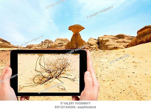 tourist taking photo of saxaul in Wadi Rum desert