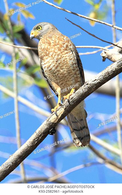 Roadside Hawk (Rupornis magnirostris), adult. Parque Nacional de Corcovado, Peninsula de Osa, Costa Rica