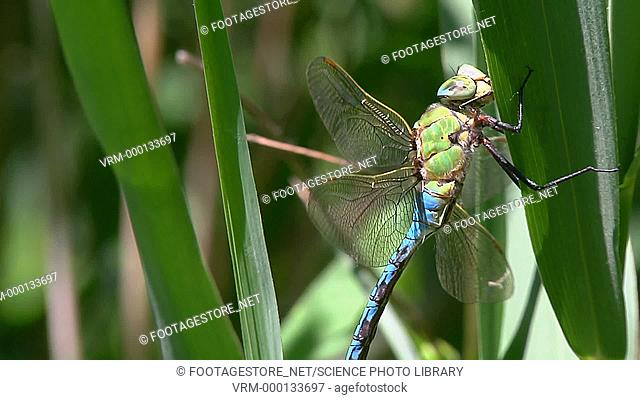Dragonfly (Odonata) sitting on a plant leaf
