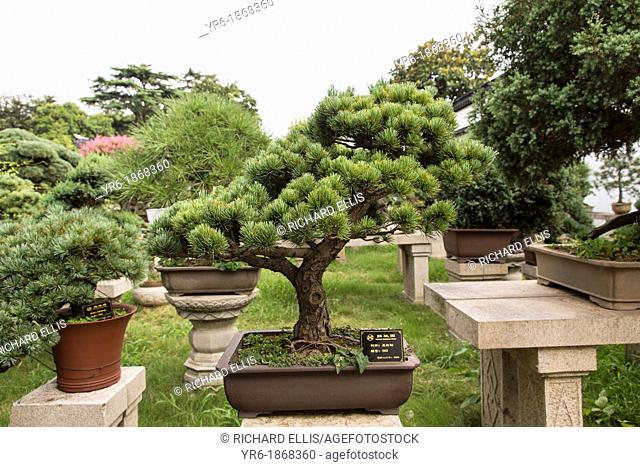 A bonsai tree in the Humble Administrator's garden in Suzhou, China