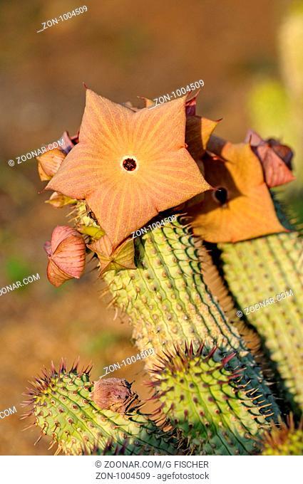 Hoodia gordonii, Richtersveld, Südafrika / Hoodia gordonii, Richtersveld, South Africa