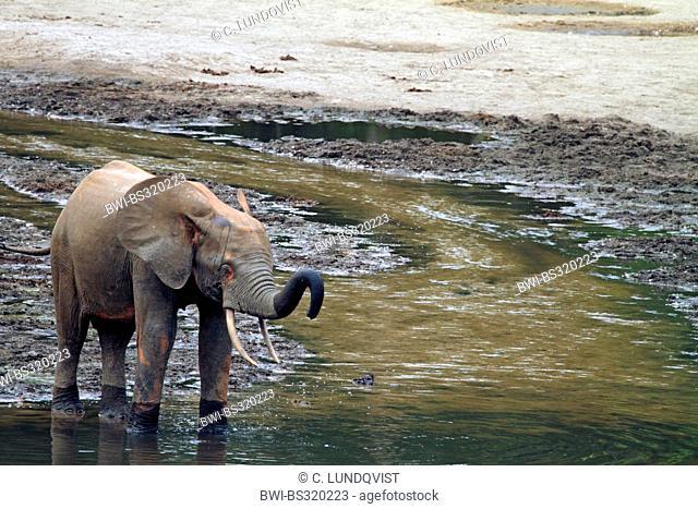 Forest elephant, African elephant (Loxodonta cyclotis, Loxodonta africana cyclotis), juvenile in pool, Central African Republic, Sangha-Mbaere, Dzanga Sangha