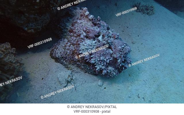 Pink stonefish lying on the sand next to a coral reef. Reef Stonefish - Synanceia verrucosa, Red Sea, Marsa Alam, Egypt