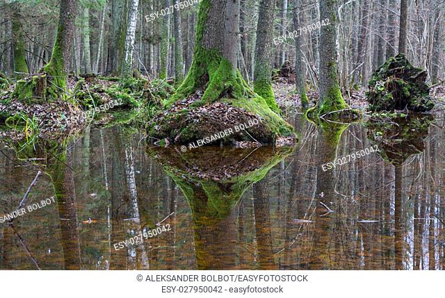 Old alder trees moss wrapped refleciting in water, springtime alder-bog stand, Bialowieza Forest, Poland, Europe