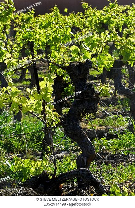 A spring Vineyard in the Hérault, Southern France