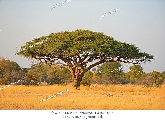 Umbrella thorn (Acacia tortilis). Hwange National Park, Zimbabwe