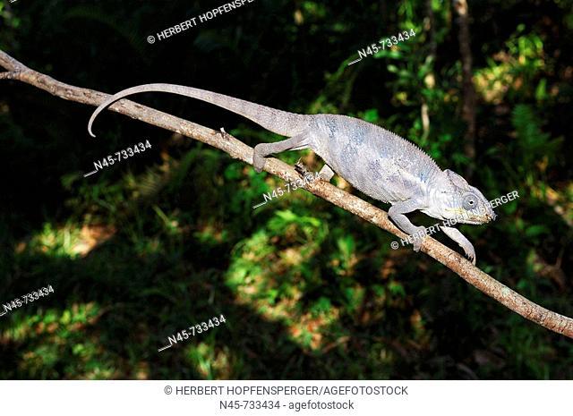 Panther Chameleon (Furcifer pardalis), male
