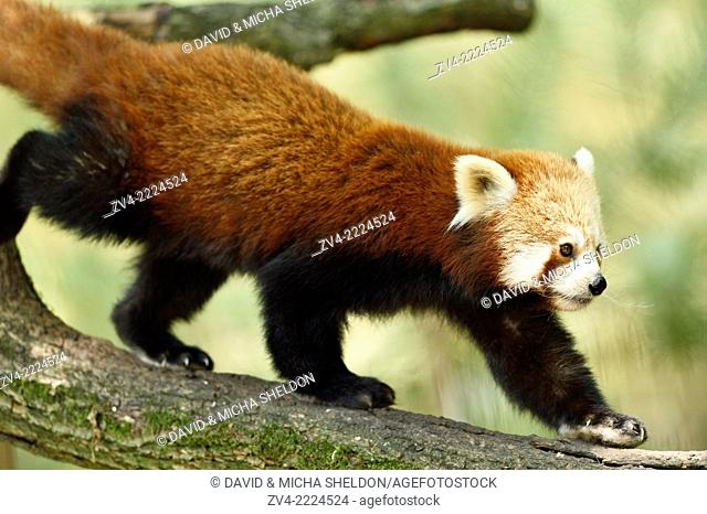 Close-up of Red panda (Ailurus fulgens) walking on a bough in summer