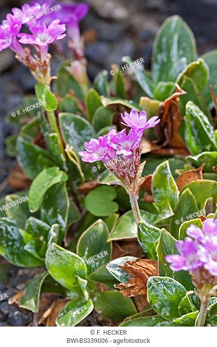 Entire-leaved primrose (Primula integrifolia), blooming