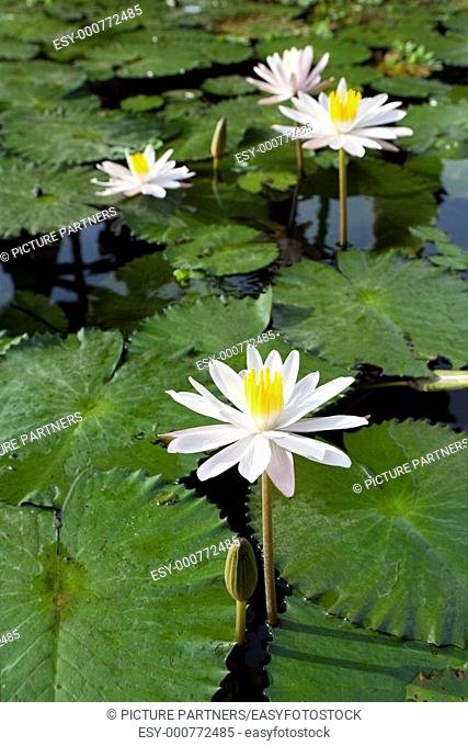 Water lily Nymphaea alba in Bali, Indonesia