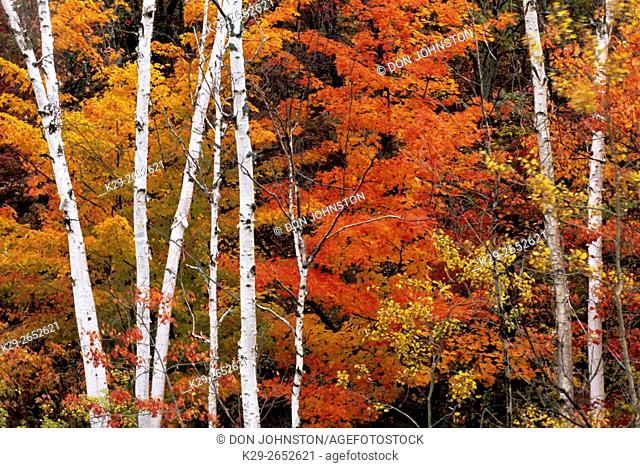 White birch (Betula papyrifera) trunks and red maple (Acer rubrum) in autumn, Greater Sudbury, Ontario, Canada
