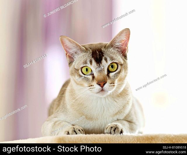 Burma cat. Adult lying on a scratching post. Germany