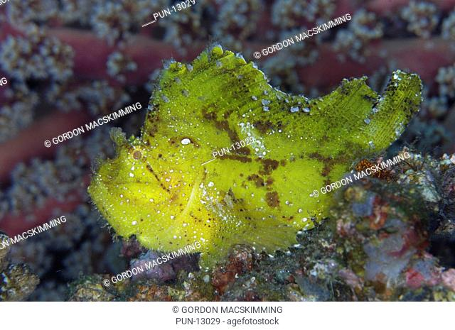 The leaf scorpionfish Taenianotus triacanthus will always establish itself at a suitable place to ambush other smaller fish and crustaceans When approached it...