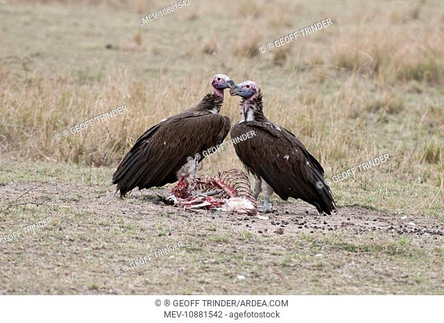 Lappet-faced / Nubian Vulture - pair on ground with remains of a kill (Torgos tracheliotus). Maasai Mara - Kenya