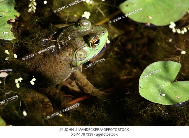 An American Bullfrog, Rana catesbeiana sitting half submerged in a pond  Leaming's Run Gardens, Cape May Courthouse, New Jersey, USA