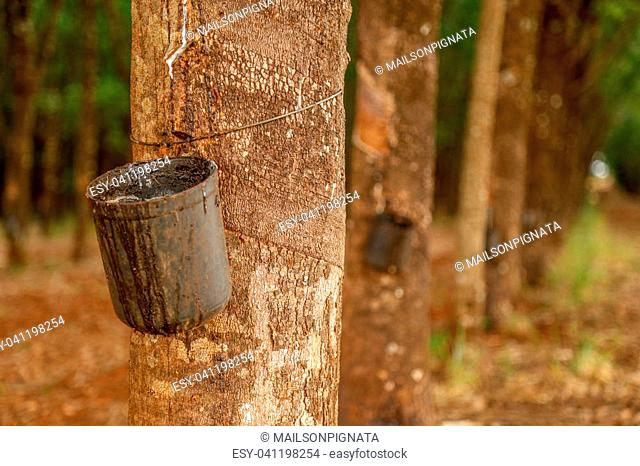 rubber tree cultive